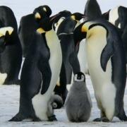 Google Penguin: Schlechte Links und das Disavow Tool: Kaiserpinguine mit Kind