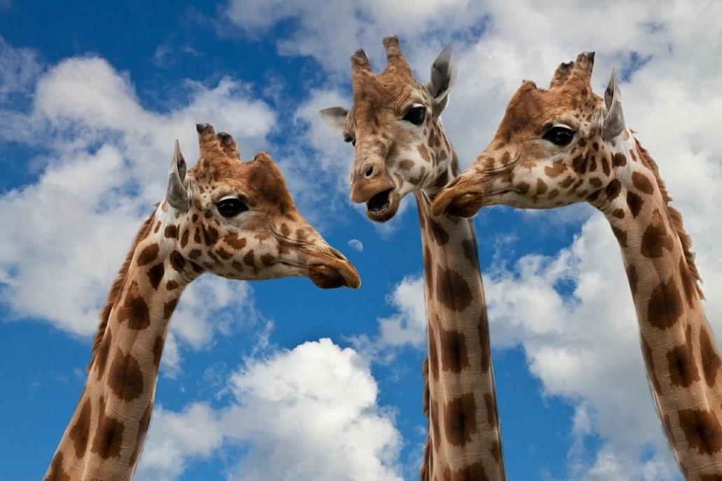 Interviews: Giraffen unterhalten sich